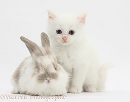 White kitten and baby rabbit