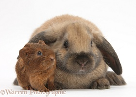 Baby Guinea pig and rabbit