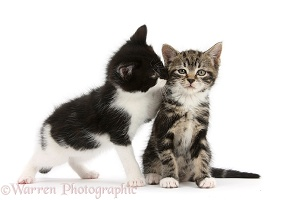 Tabby kitten with black-and-white kitten