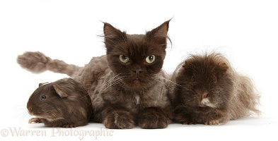 Chocolate cat and Guinea pigs