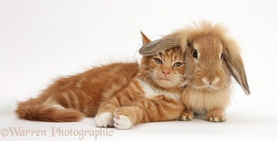Ginger kitten lying with Sandy Lionhead rabbit