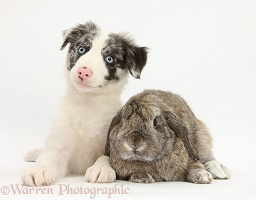 Border Collie pup and agouti Lop rabbit