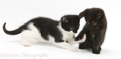 Black kitten playing with black-and-white kitten