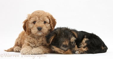 Cavapoo pup and Yorkie pup