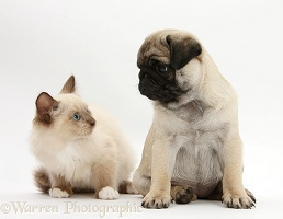 Fawn Pug pup, 8 weeks old, and Birman-cross kitten