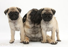 Fawn Pug dog and puppies, 8 weeks old