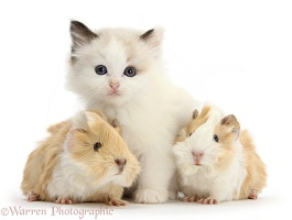 Ragdoll-cross kitten and baby Guinea pigs