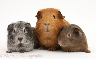Mother red Guinea pig with silver and chocolate babies