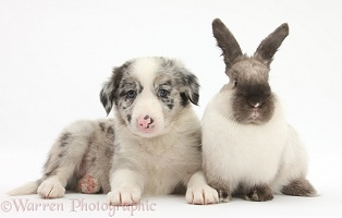 Merle Border Collie pup with colourpoint rabbit