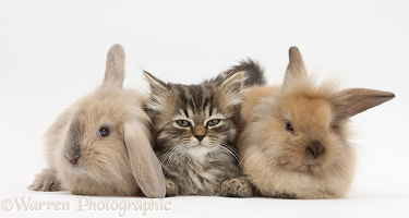 Tabby kitten and young rabbits