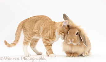 Ginger kitten head-butting Sandy Lionhead rabbit
