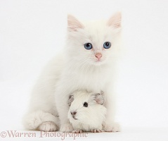 Baby white Guinea pig and white kitten