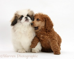 Pekingese pup and Poodle pup