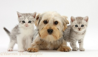 Yorkie and tabby kittens
