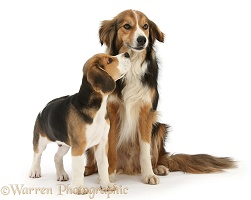 Beagle pup and Border Collie