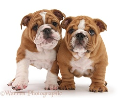 Two Bulldog pups, 8 weeks old