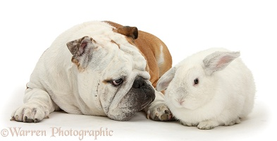 Bulldog and white rabbit