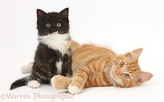 Ginger and black-and-white kittens