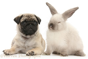 Fawn Pug pup, 8 weeks old, and sooty colourpoint rabbit