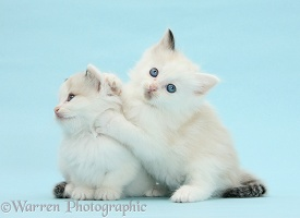 Ragdoll-cross kittens on blue background