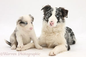 Merle Border Collie and pup, 6 weeks old