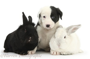 Black-and-white Border Collie pup and rabbits