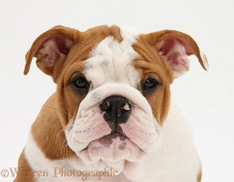 Bulldog pup, 11 weeks old