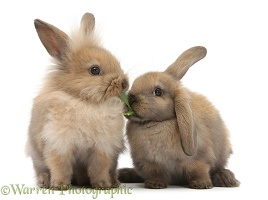 Young sandy rabbits sharing a piece of grass