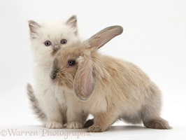 Young windmill-eared rabbit and colourpoint kitten