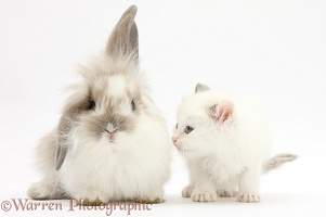 Young windmill-eared rabbit and white kitten