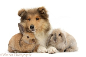Rough Collie pup and young rabbits