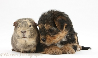 Yorkie pup with Guinea pig