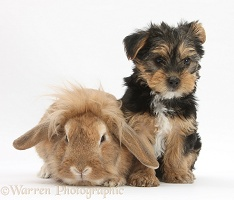 Yorkie pup with sandy Lionhead-cross rabbit