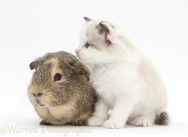 Colourpoint kitten and Guinea pig