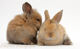 Baby sandy Lionhead-cross rabbits