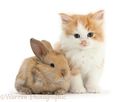 Ginger-and-white kitten with a baby rabbit