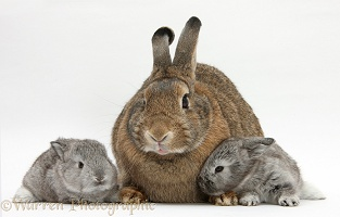 Agouti mother rabbit with two silver babies