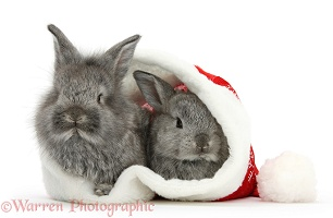 Young Silver Lionhead rabbits in a Santa hat
