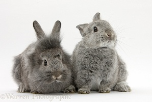 Two silver young rabbits