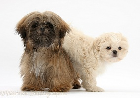 Brown Shih-tzu and cream Shih-tzu pup