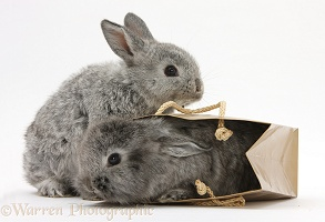 Tow silver young rabbits playing in a gift bag