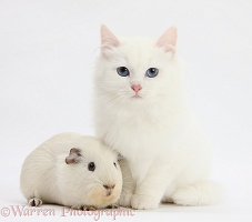 White kitten and white Guinea pig
