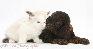 Cockapoo pup and Ragdoll-cross kitten