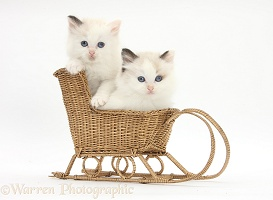 Ragdoll-cross kittens in a wicker toy sledge