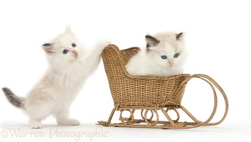 Ragdoll-cross kittens playing with a wicker toy sledge