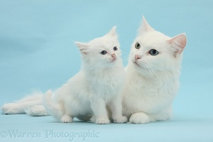 Maine Coon-cross mother cat and kitten
