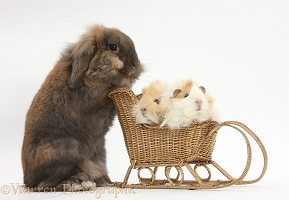 Rabbit pushing Guinea pigs in a sledge