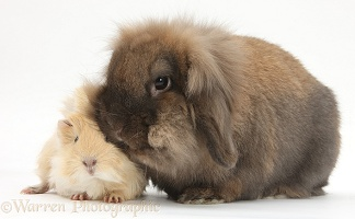 Baby sandy-and-white Guinea pig with rabbit