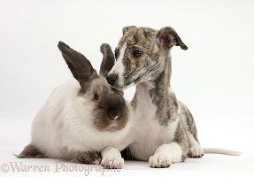 Brindle-and-white Whippet pup and rabbit