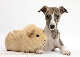 Brindle-and-white Whippet pup and yellow Guinea pig